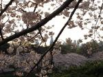 まち歩き 2009 ソフィア通りの桜