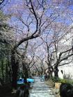 まち歩き 四谷見附 桜の魔力?