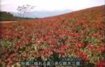 大田原 とうがらし 動画