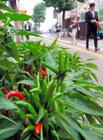 「内藤とうがらし」復活へ住民栽培 10日に七味販売